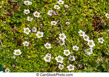 Field of small white flowers