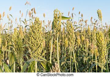 Field of Sorghum or Millet - Close up field of Sorghum or ...