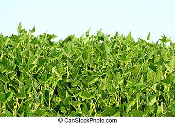 Field of soybean
