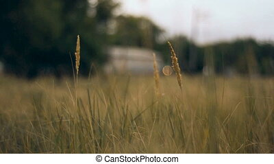 field of spikelets moves from the wind