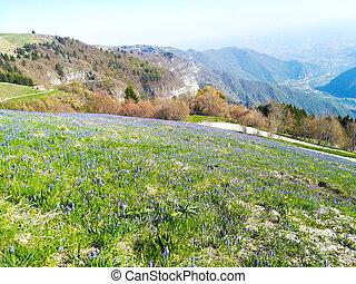 Field of spring pasqueflower