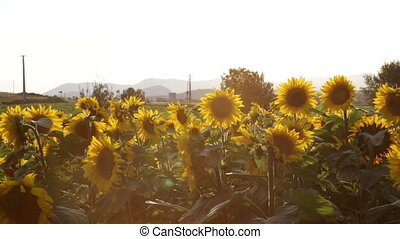 Field of sun flowers with sun rays - wide sunflower fields...