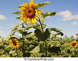 Field of Sunflowers - a field of sunflowers in Manitoba,...