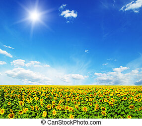 sunflowers - field of sunflowers and blue sun sky