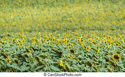 Field of Sunflowers (close-up shot)