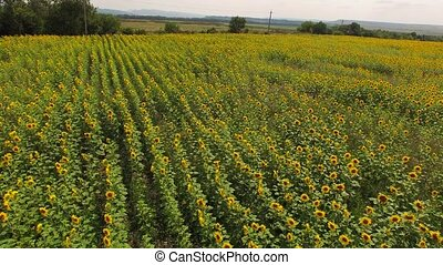 Field of sunflowers from a bird's-eye view. - Field of...