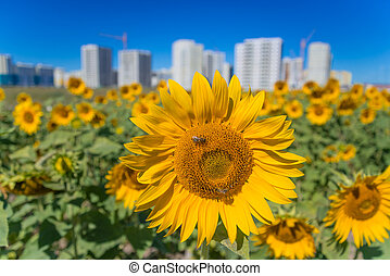 Field of sunflowers on a background of new buildings