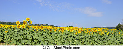 field of sunflowers on a sunny day with blue sky