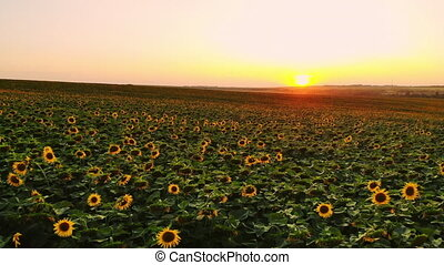 Field of sunflowers on foggy day. Blooming sunflowers meadow...