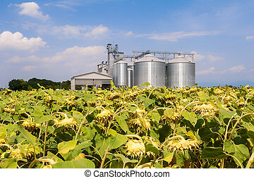 Field of sunflowers ready for harvest.