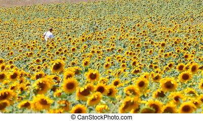 field of sunflowers - man walks through a field of...