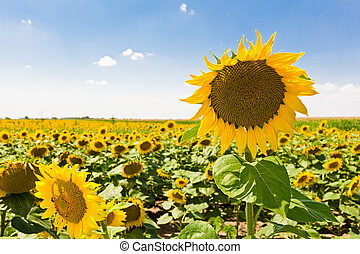 field of sunflowers - Sunflowers in front of blue sky.