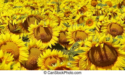 Field of Sunflowers - Sunflowers waving in the wind