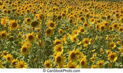 Sunflowers Swaying - Field Of Sunflowers Swaying In A Light...