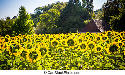field of sunflowers with a house on the background