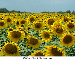 Field of sunflowers with green leaves and yellow heads turned to the sun, close up view. Rural landscape of yellow agricultural field blooming. Blurred background. Soft selective focus.