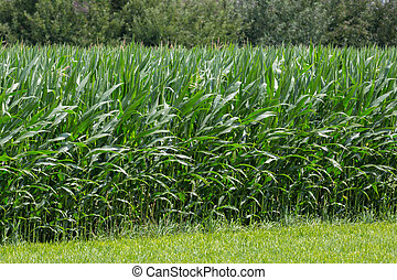 field of sweet corn plants green leaves