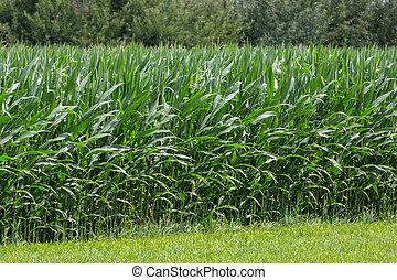 field of sweet corn plants green leaves