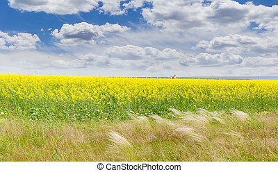Field of the blooming rapeseed with feather grass in foreground