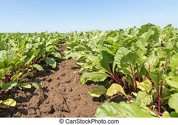 Field of the red beetroot. Young green beetroot plants.