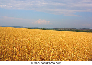 Field of the wheat