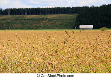 Field of Timothy grass rural landscape - A rural landscape ...