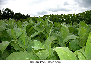 Tobacco Plants growing on a field