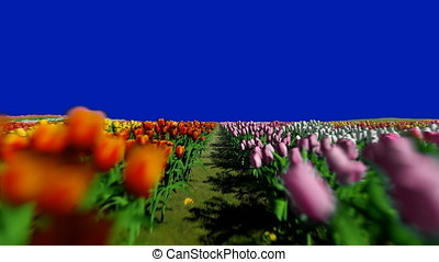 Field of tulips, camera fly over, Chroma Key Blue Screen