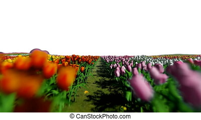 Field of tulips, camera fly over, on white