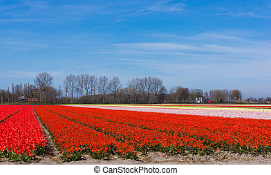 field of tulips.  colorful tulip farm.  Netherlands field. Dutch bulb field of colorful tulips near Lisse