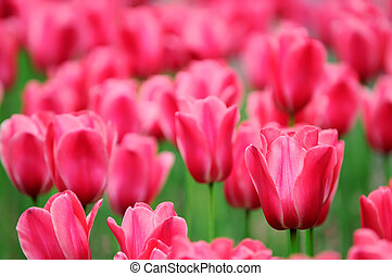 Field of tulips - Field of rosy tulips close up