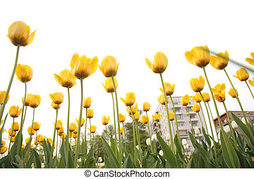 field of tulips in city