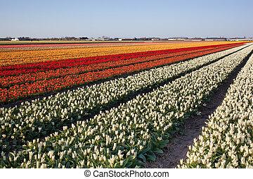 Field of tulips in Netherlands
