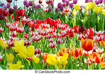 Field of Tulips in various colors