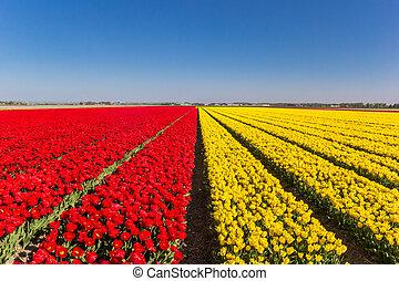 Field of tulips in vibrant red and yellow colors in Noordoostpolder, Netherlands