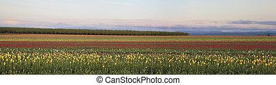 Field of Tulips Panorama