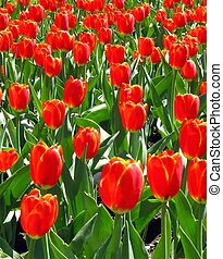 Field of Tulips - A field of red tulips.