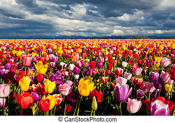 field of tulips in Spring under dramatic sky