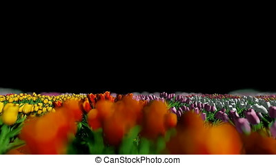 Field of tulips wind blow, Luma Matte attached
