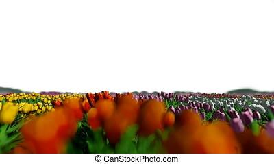 Field of tulips wind blow, on white