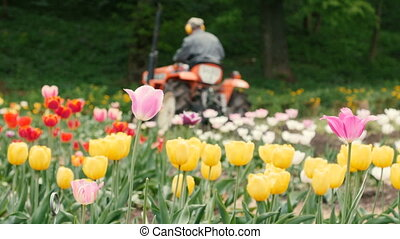 Field of Tulips with Tractor