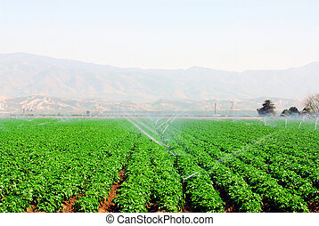 Field of Vegetables - lush field of green vegetables being...