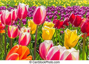 Field of vibrant colorful tulips in Flevoland