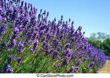 Field of vibrant Lavender flowers on a suuny summers day