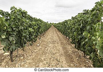 Field of vines