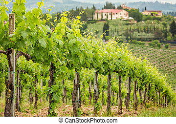 Field of vines on a background of a hacienda in Tuscany