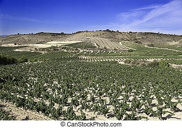 Field of vineyard
