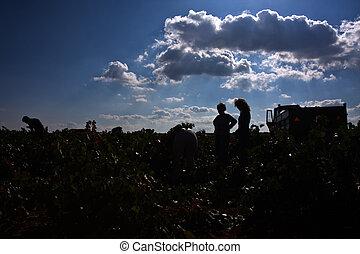 Field of vineyards