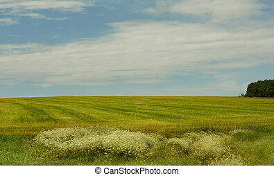 Field of wheat and sky