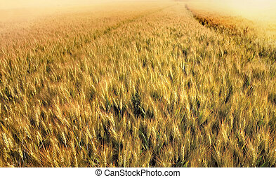 field of wheat at sunset